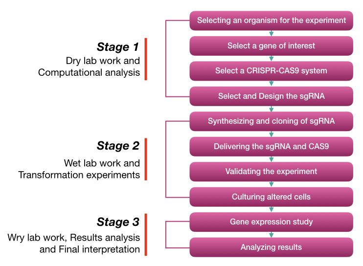 Graphical representation of Steps and stages of CRISPR-CAS9 gene editing.