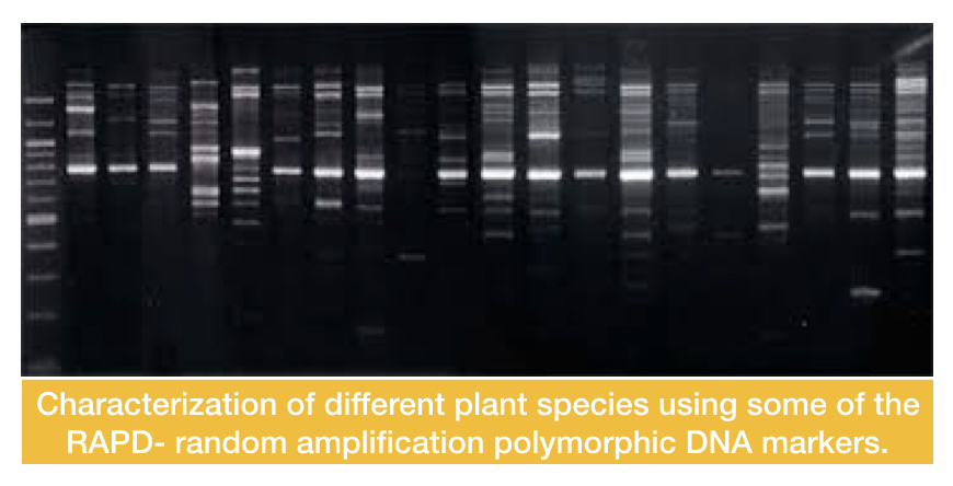 The DNA amplification results of various RAPD markers used for constructing an RAPD map tree of various plant species.