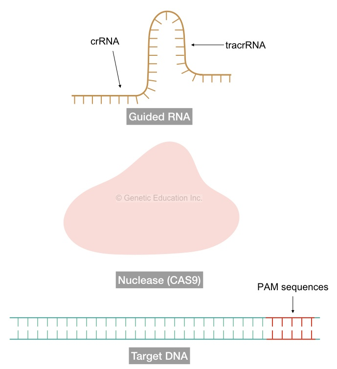 The structure of sgRNA, CAS9 and the target DNA sequence.