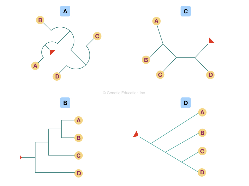 The figure represents different forms of a single type of phylogenetic tree.