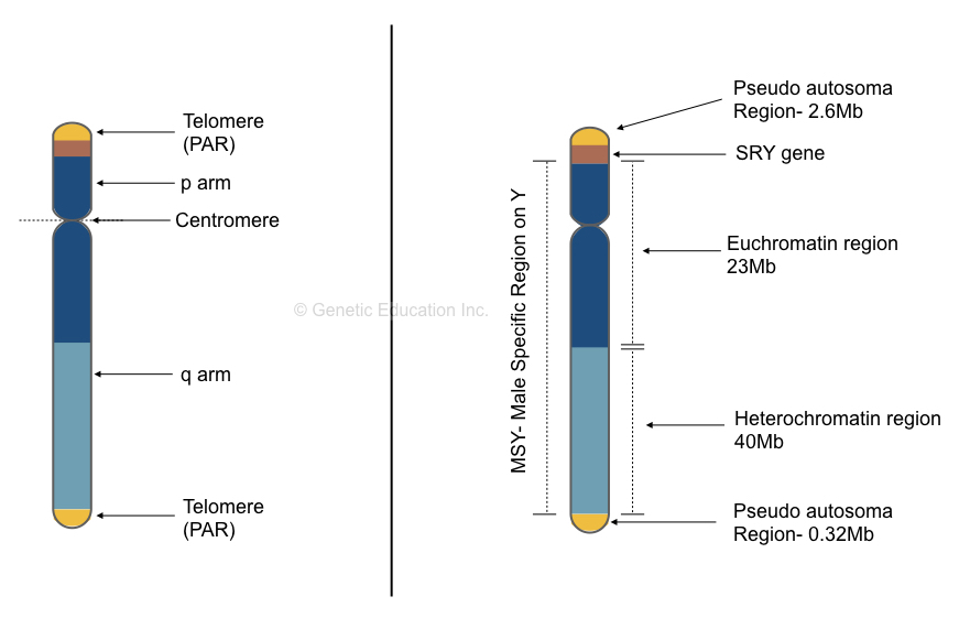 The structure of Y chromosome.