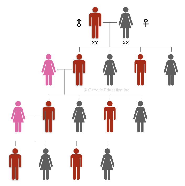 The inheritance of the Y chromosome in the male lineages of the family.