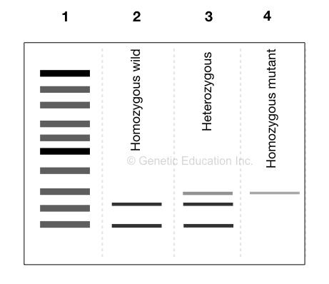An illustration of gel image of restriction digestion.