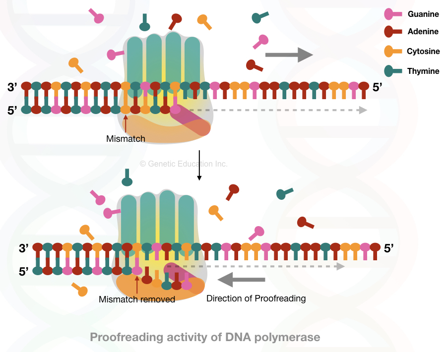 In this image the DNA polymerase done proofreading