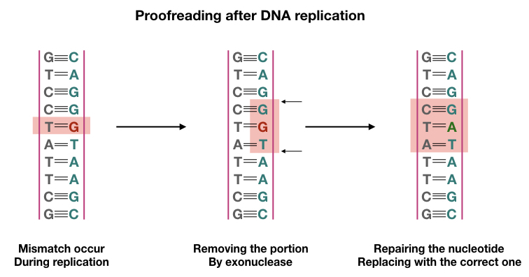 Image shows exonuclease activity after DNA replication.