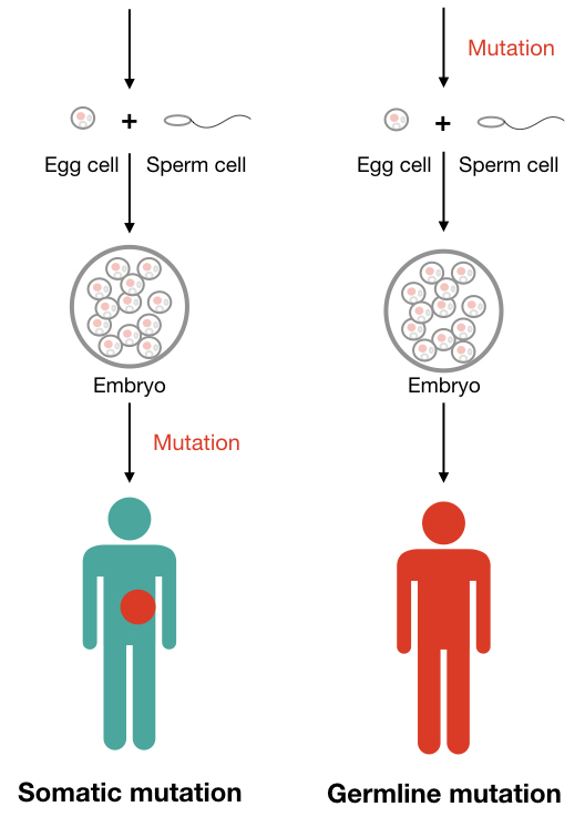 Graphical illustration of the difference between somatic and germline mutation.