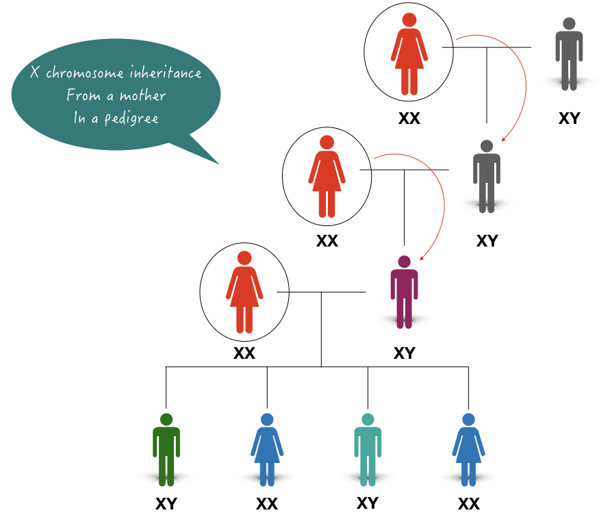 Image of how X chromosome is inherited from the female to the male in a family.