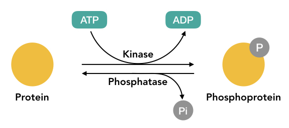 Graphical representation of the phosphorylation and dephosphorylation process.