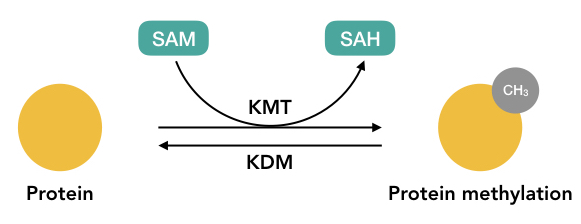 Graphical representation of the methylation process.