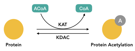Graphical representation of the process of Acetylation.