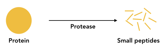 Graphical representation of the process of proteolysis.