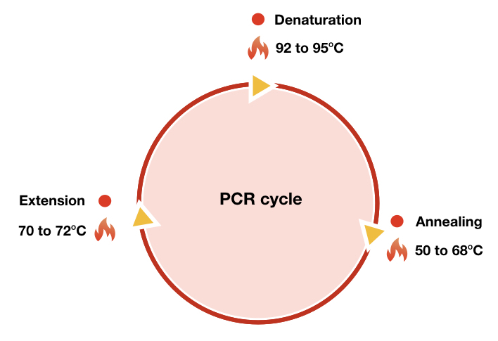 Image showing a Typical PCR cycle with denaturation, annealing and extension.